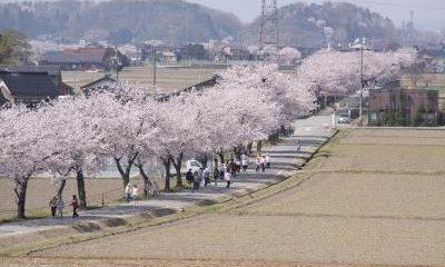 桜の連なる道路